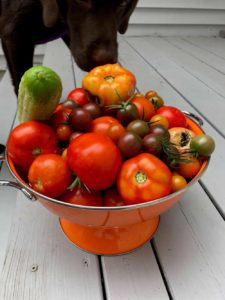 Colander full of garden tomatoes of a variety of sizes and colors, red, orange, purple.